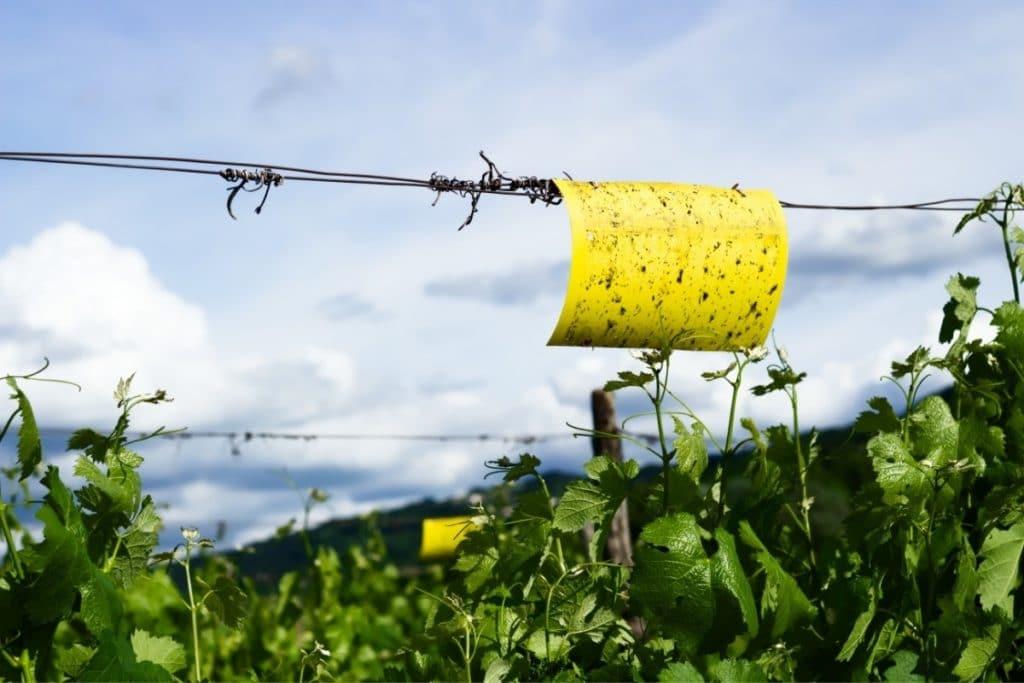 Fruit Flies Attacking Plants
