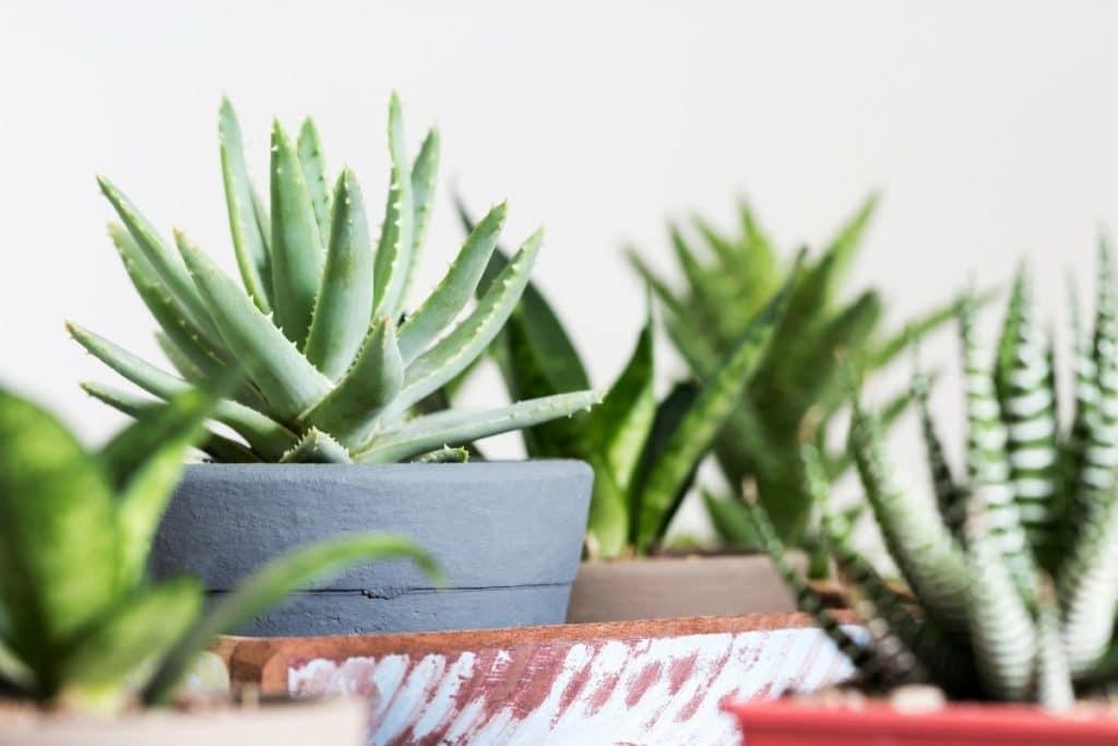 Types of Aloe