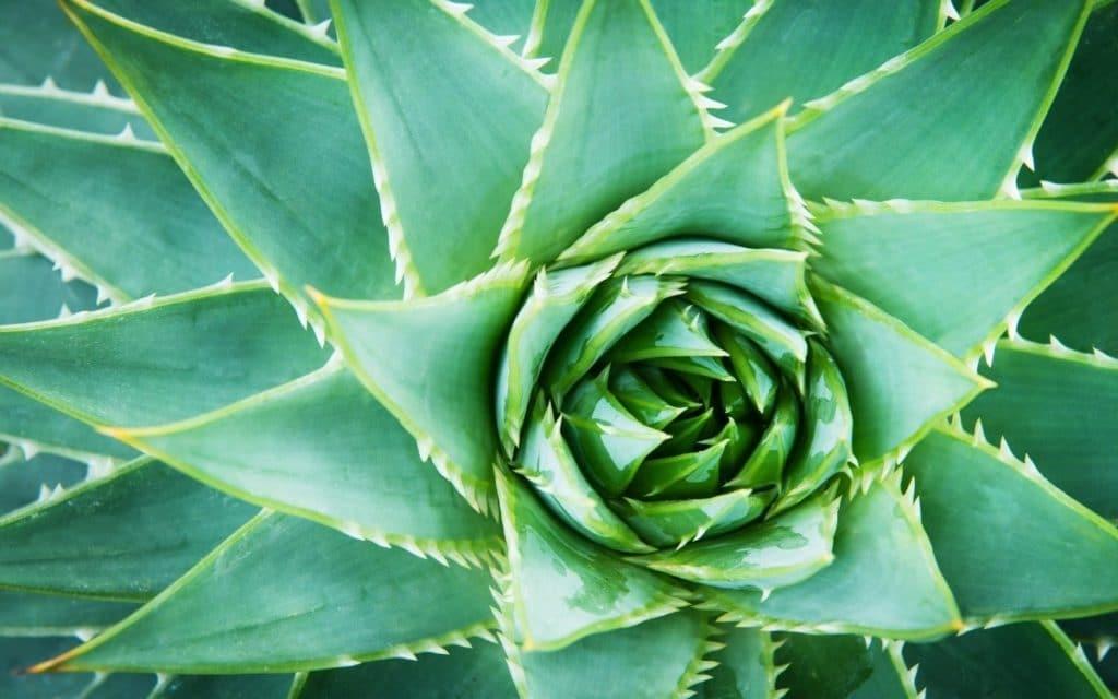 Types of Aloe Plants - Aloe Vera