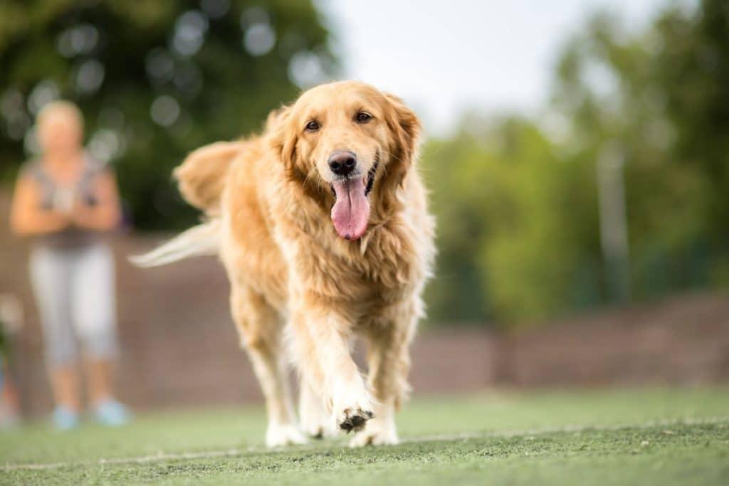 How Often Do You Walk Your Dog - Golden Retriever