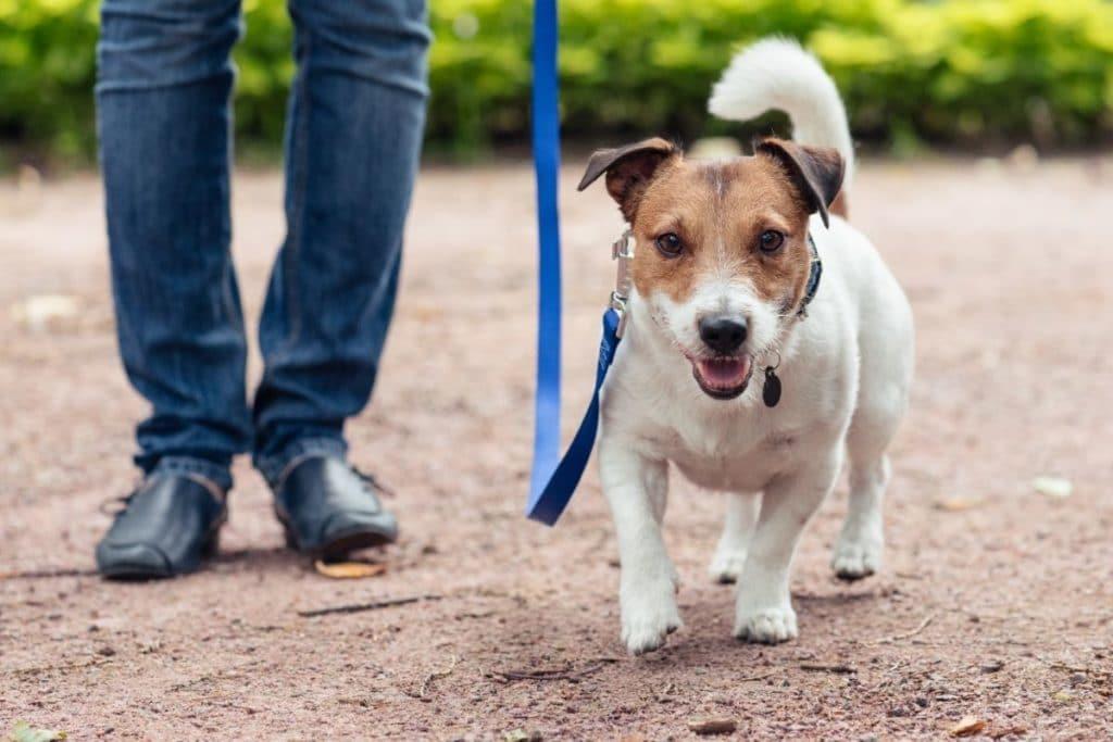 Medium Energy Dog on Walk